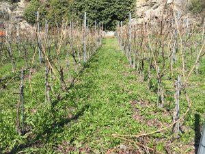 Vines Valais Pruning