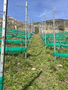 Vines Valais Spring