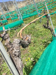 Vines Valais New Branches